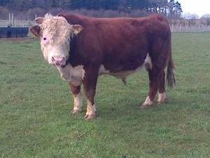"""""""Chalky"""" an adult bull at just uner three years of age"""