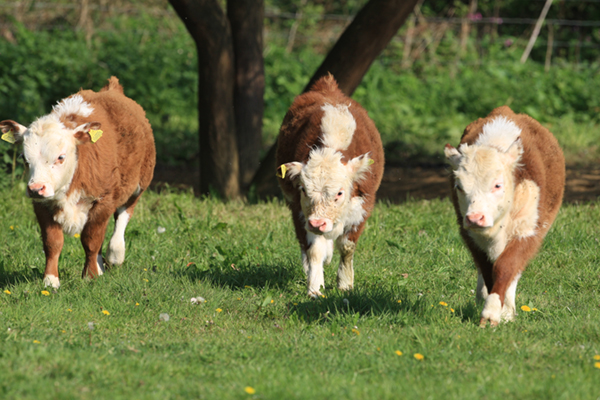 Three little bulls out for a summer stroll