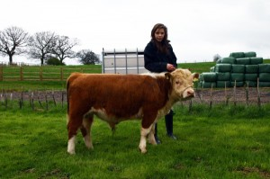 miniature-herefords-2