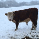 miniature-herefords-20