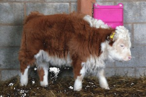 miniature-herefords-29