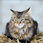 rare-breed-cats-4